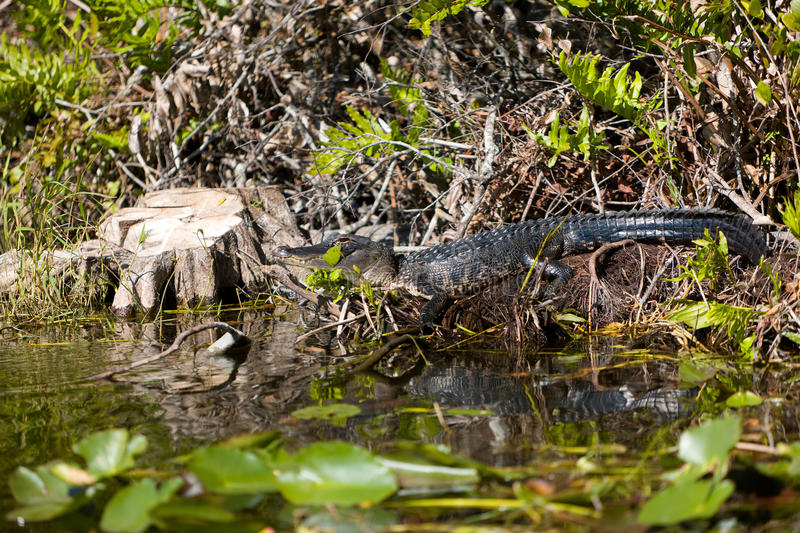 Alligator resting in the swamp. An alligator resting in the swamp of the Everglades National Park in Florida stock photos