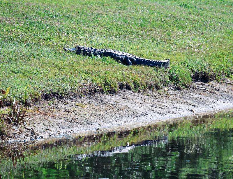 Alligator is resting. Taken in Tampa, florida royalty free stock image