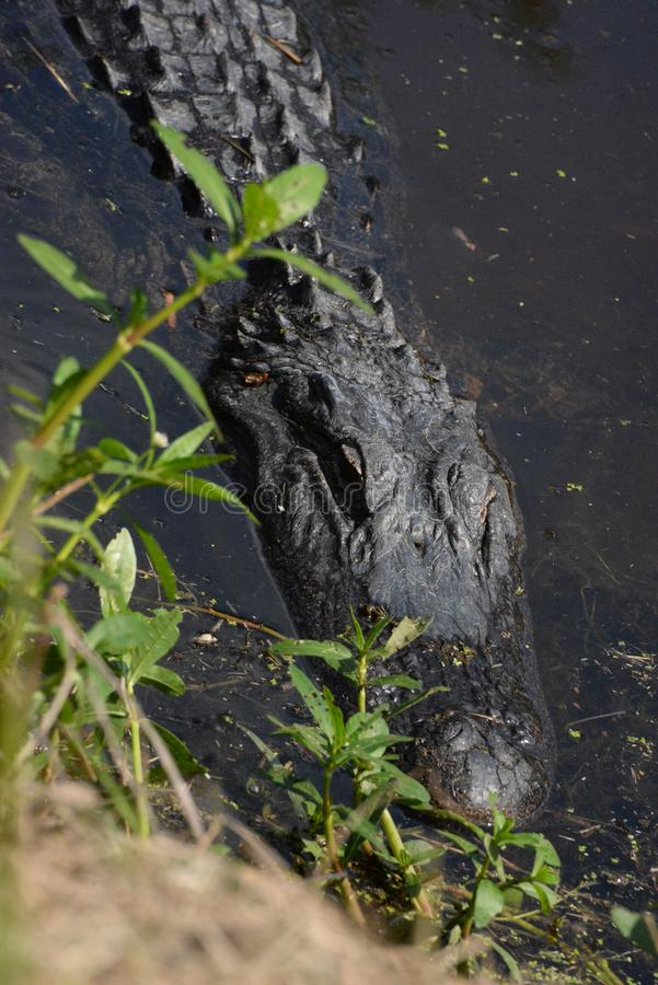 The alligator ensures the safety of its young by staying close. The alligator rules the river and its banks in the Amelia Island, Florida Greenway stock images