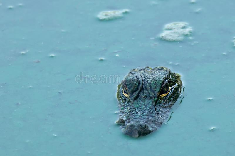 An alligator`s head and eyes in turquoise algae water. An alligator`s head and eyes in turquoise green algae water during drought in Fakahatchee Strand, Florida stock images