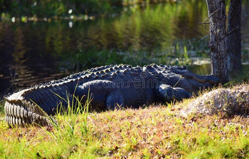 Alligator schläft durch das Wasser stockbild