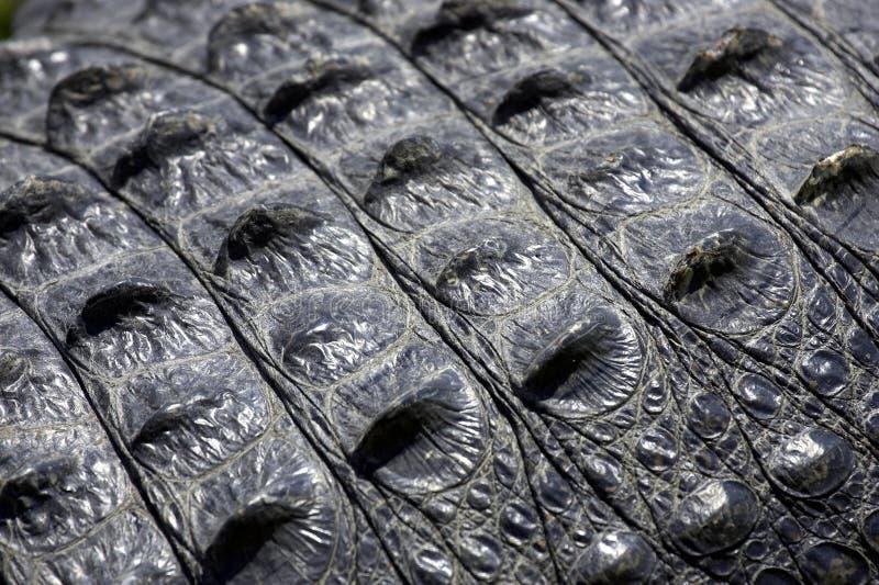 Alligator skin everglades state national park florida usa stock photos