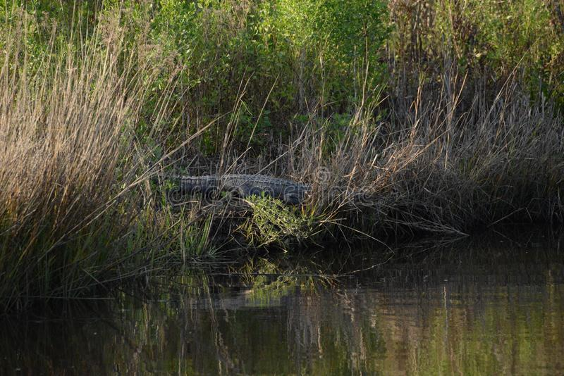 The Alligator slowly makes its way into the Greenway waterway as night falls royalty free stock photo