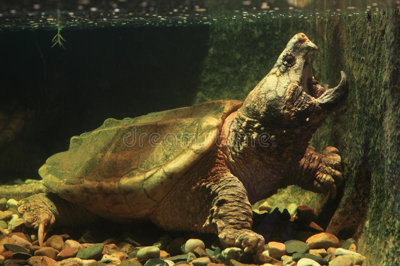 Alligator snapping turtle stock images