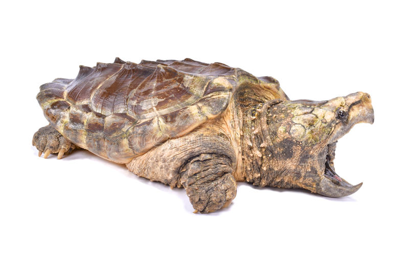Alligator snapping turtle,Macrochelys temminckii. The Alligator snapping turtle,Macrochelys temminckii, is one of the biggest freshwater turtle species. It is royalty free stock photos