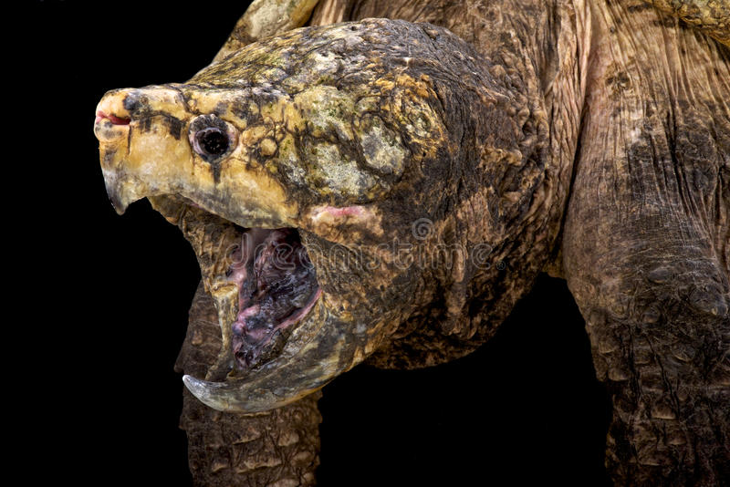 Alligator snapping turtle (Macrochelys temminckii). The alligator snapping turtle (Macrochelys temminckii) is an ancient looking apex predator found in the royalty free stock photo
