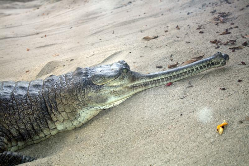 Alligator Snout
