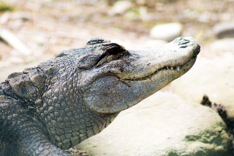 Alligator souriant au soleil photo libre de droits