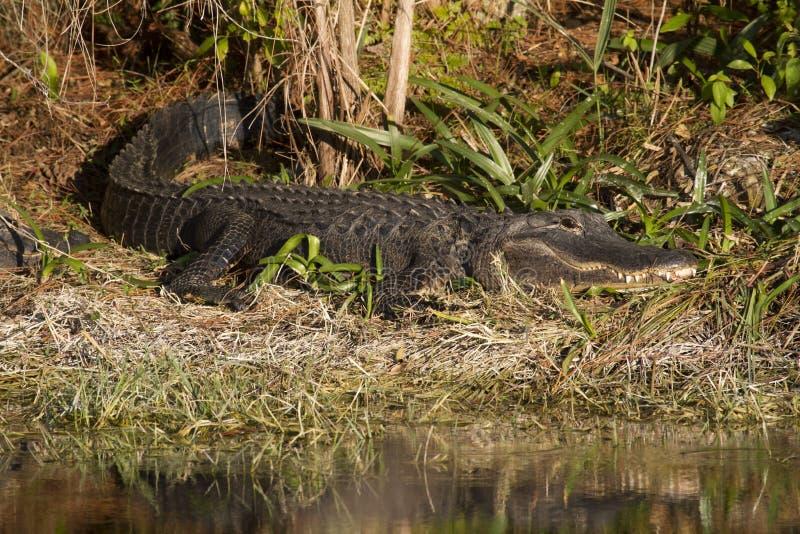 Download Alligator Sunbathing stock photo. Image of reflection - 23509764