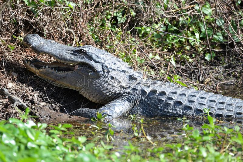 The alligator opens its mouth as it slowly begins to slide into the black water. The Alligator suns itself on the marsh bank while its babies play all around her stock photography