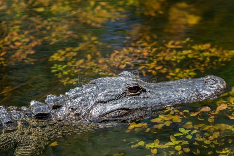 Alligator Swimming, Big Cypress National Preserve, Florida stock photo