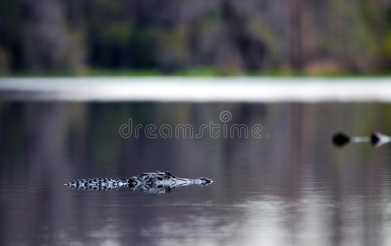 Alligator swimming in dark swamp water. American Alligator, Alligator mississippiensis, swiming in tanin stained black water swamp of Okefenokee Swamp National stock photos
