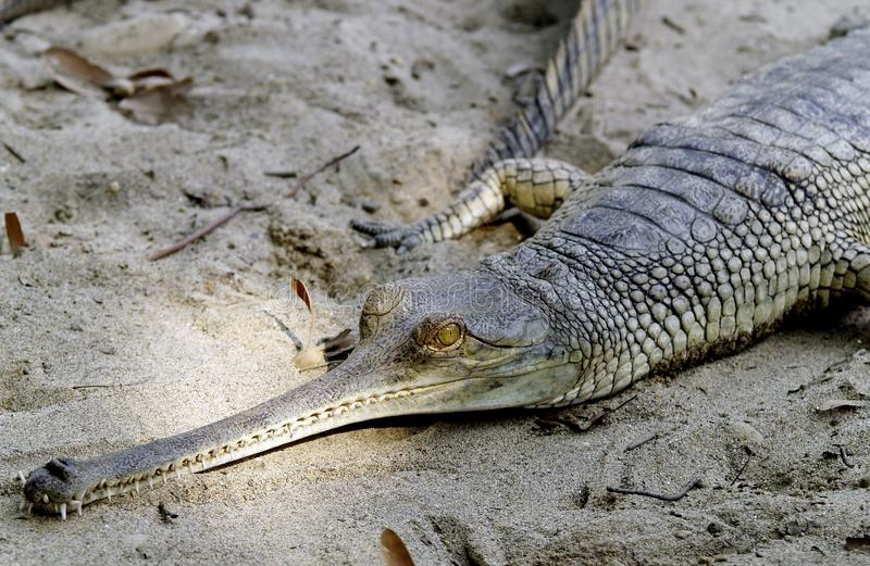 Alligator taking rest in sand. An alligator comes out of the water and rests in the sand in Chitwan, Nepal