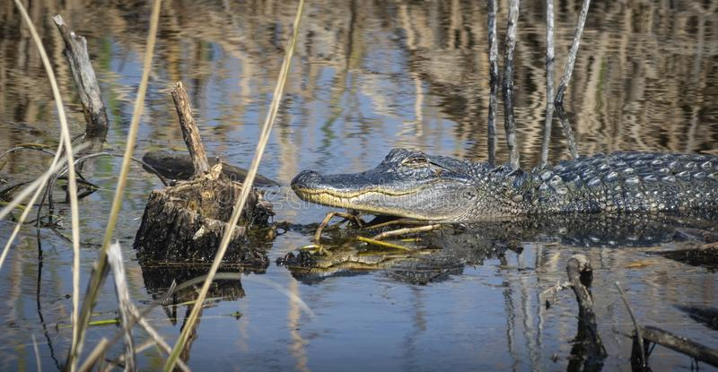 Alligator taking sun and resting stock photography