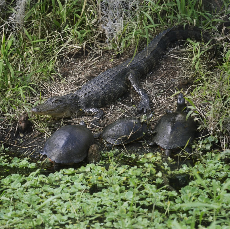 Alligator And Turtles stock photos