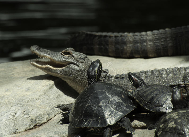 Alligator and Turtles Together royalty free stock images