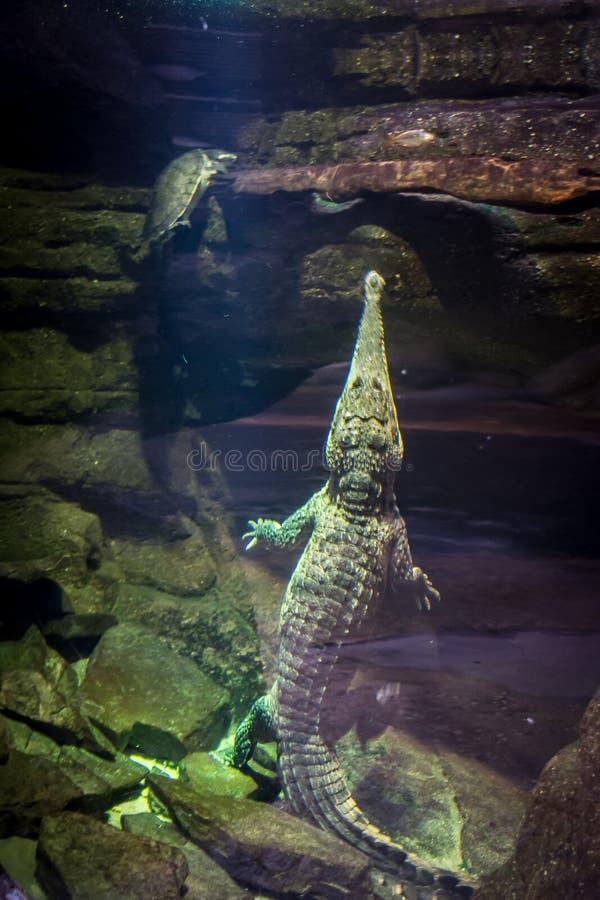 Alligator und Schildkröte lizenzfreies stockfoto