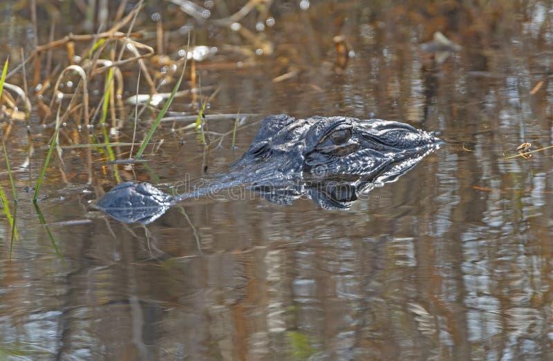 Alligator und seine Reflexion auf dem Prowl lizenzfreies stockfoto