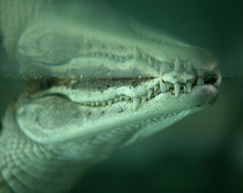 Alligator in water. Alligator with jaw below water line royalty free stock photos