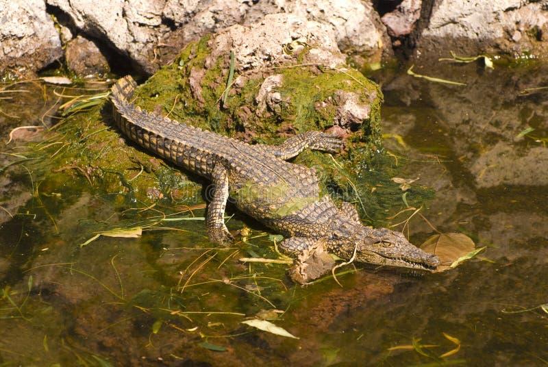 Alligator in Water (KrokodilleMississippiensis) stock fotografie