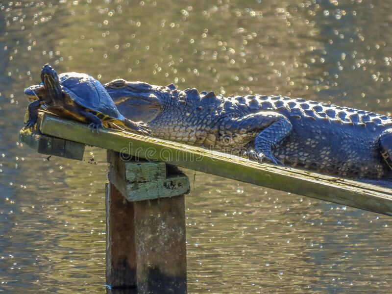 Alligator and yellow-bellied slider turtle on platform royalty free stock photo