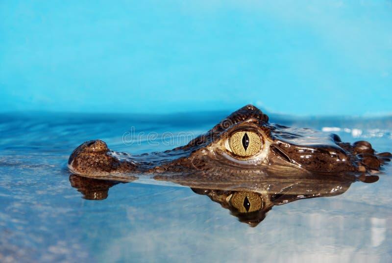 alligatorcloseuphuvud royaltyfri fotografi