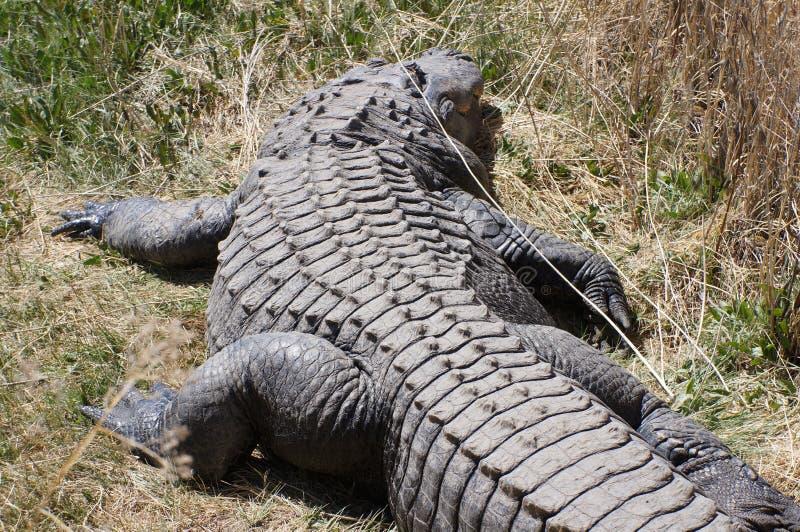 Alligatore fotografie stock