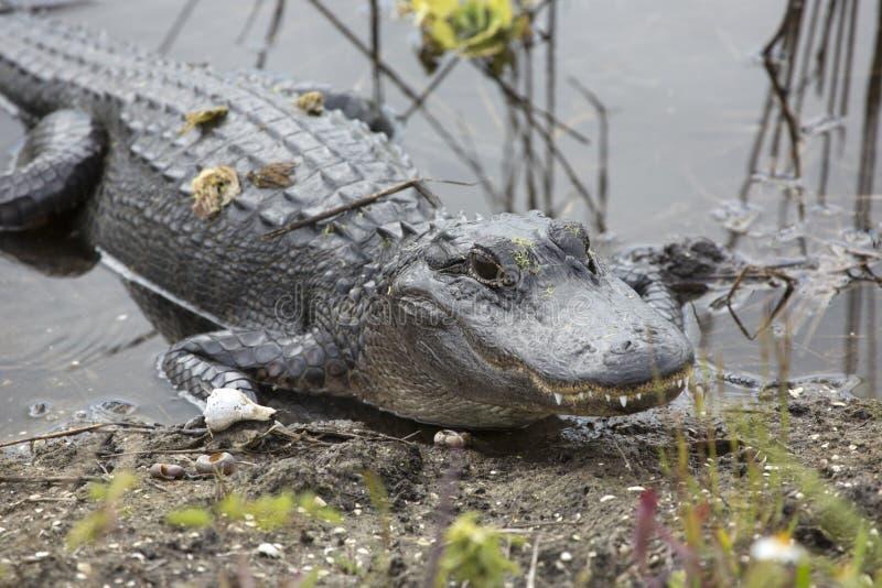 Alligatore adulto in una palude ad Orlando Wetlands Park fotografia stock
