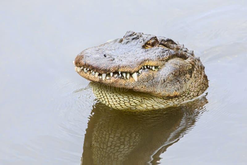 Alligatore americano arrabbiato che attacca la sua testa dall'acqua e che mostra i suoi denti fotografie stock