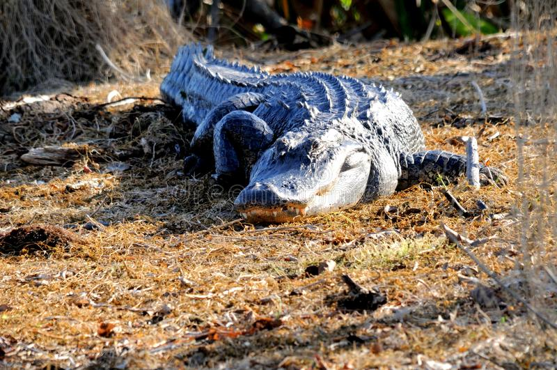 Alligatore americano enorme che cammina nelle zone umide fotografia stock