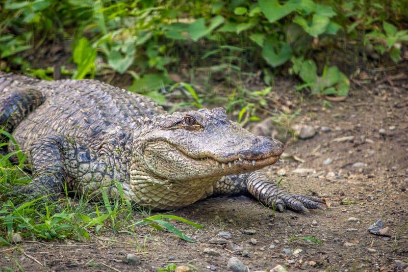 Alligatore americano vicino a vegetazione immagine stock libera da diritti