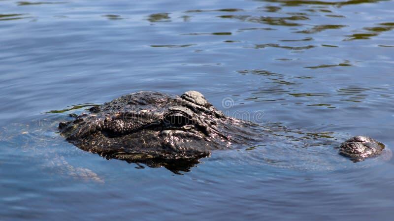Alligatore che nuota in una palude di mangrovie della Florida Everglades fotografie stock libere da diritti