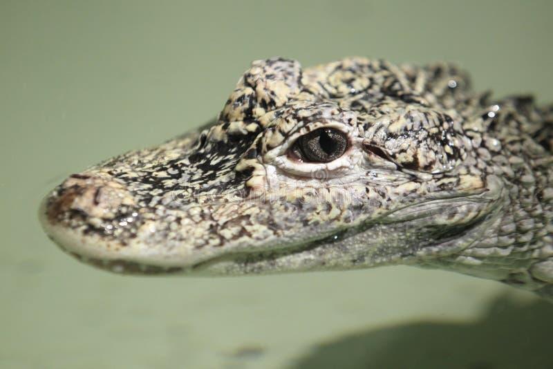 Alligatore cinese fotografie stock