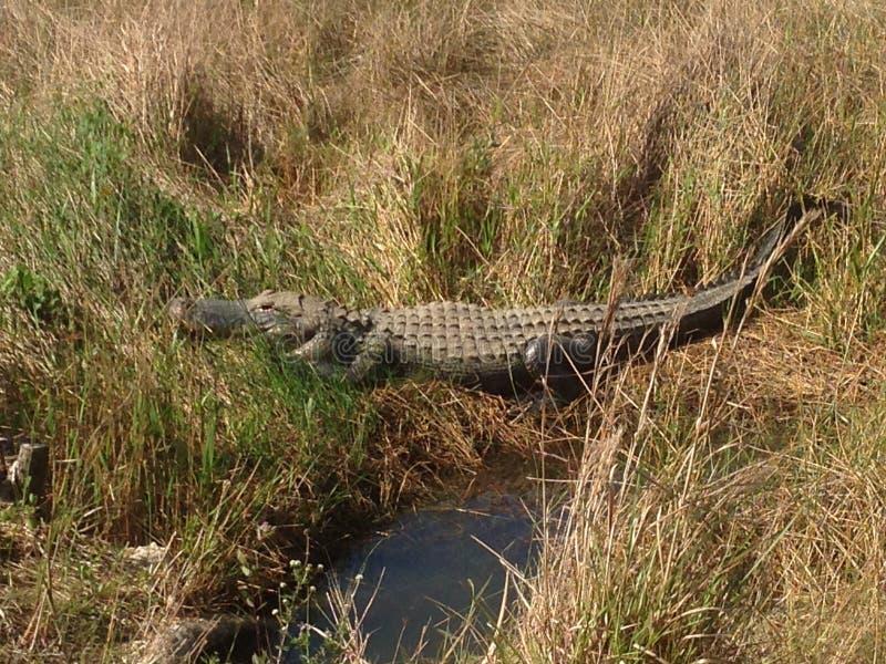 Alligatore dei terreni paludosi fotografia stock