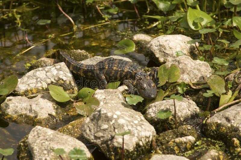 Alligatore del bambino che espone al sole sul rocksat Orlando Wetlands Park immagini stock