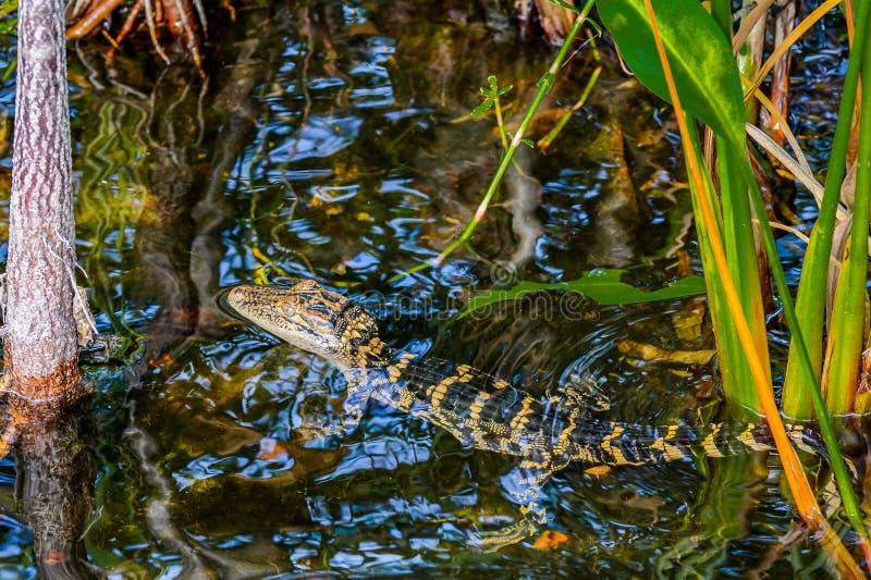 Alligatore del bambino nella palude fotografia stock