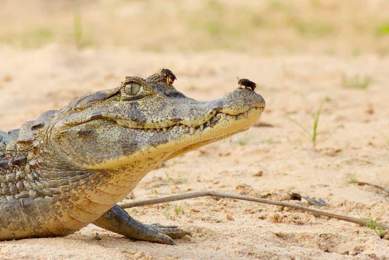 Alligatore del caimano con lo scarabeo sul naso fotografia stock libera da diritti