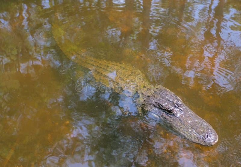 Alligatore dell'acqua nella grande prerogativa di Cypress fuori immagini stock libere da diritti