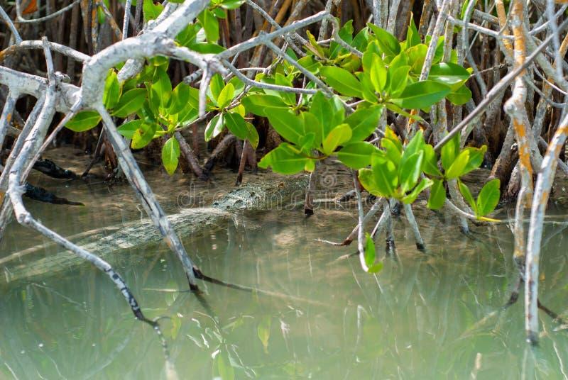 """Alligatore nascosto nella vegetazione della biosfera di Sian Ka """" immagini stock"""
