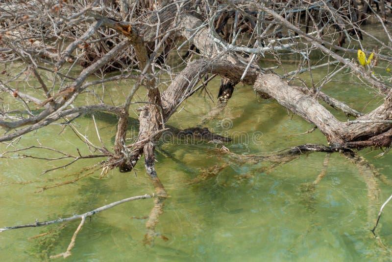 Alligatore nascosto nelle acque e nei rami della vegetazione immagine stock