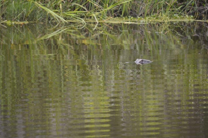 Alligatore nei rami paludosi di fiume della Luisiana immagine stock libera da diritti