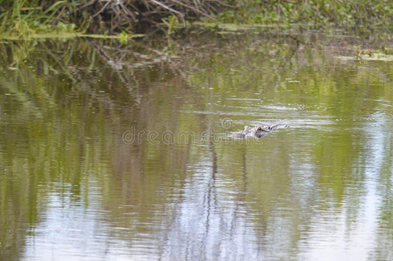 Alligatore nei rami paludosi di fiume della Luisiana immagini stock libere da diritti