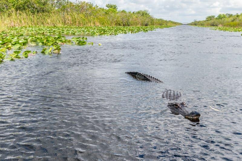 Alligatore visto da una nave aerea nel parco nazionale delle Everglades, Florida, Stati Uniti d'America fotografie stock libere da diritti