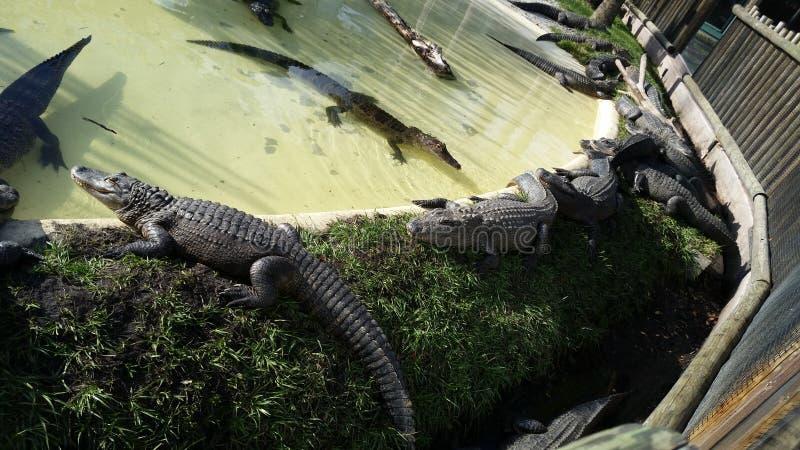 Alligatoren in Florida lizenzfreie stockfotos