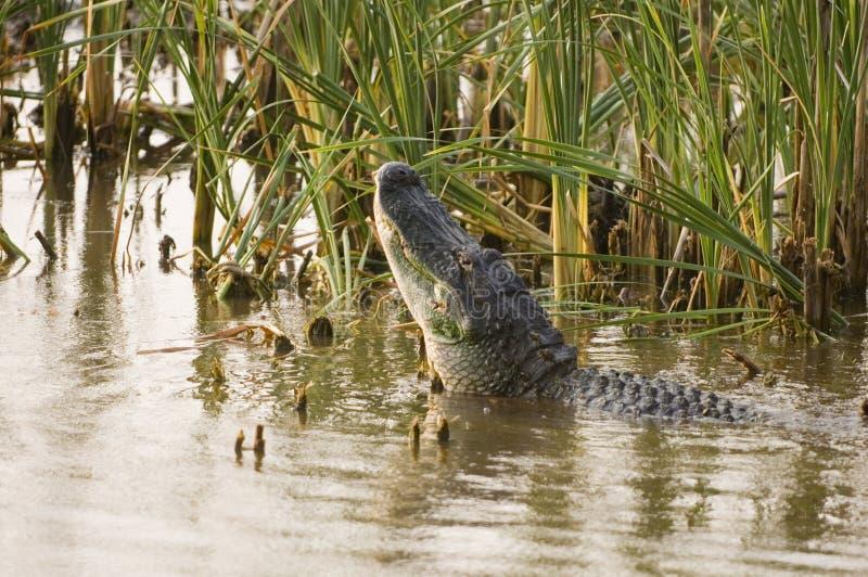 alligatorfelanmälansihopparning royaltyfria bilder