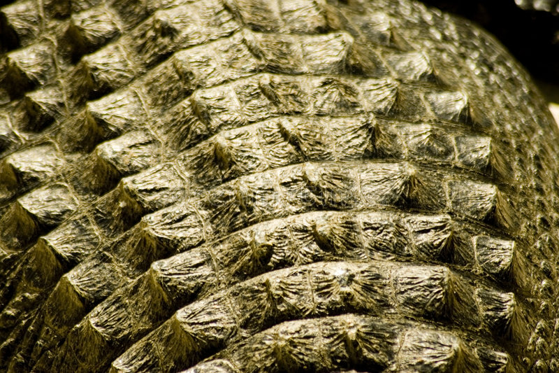 alligatorhud arkivbild