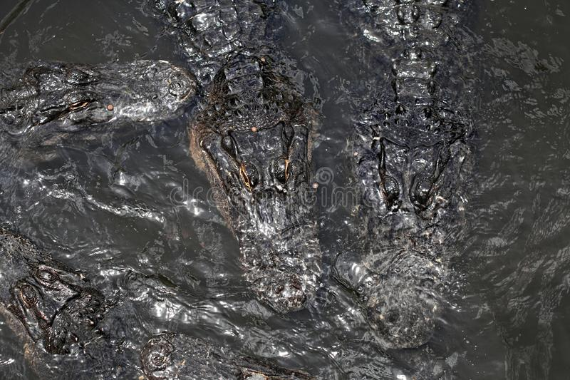 Alligatori che galleggiano sull'acqua immagini stock