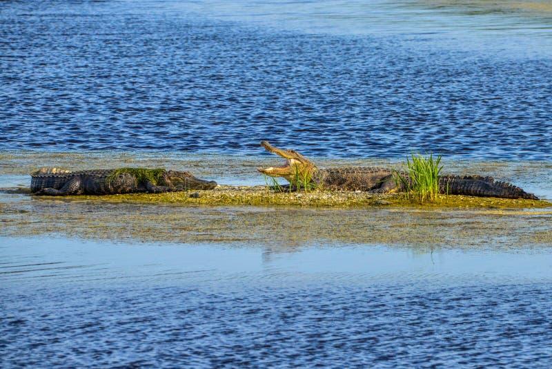 Alligatori che prendono il sole al sole fotografia stock libera da diritti