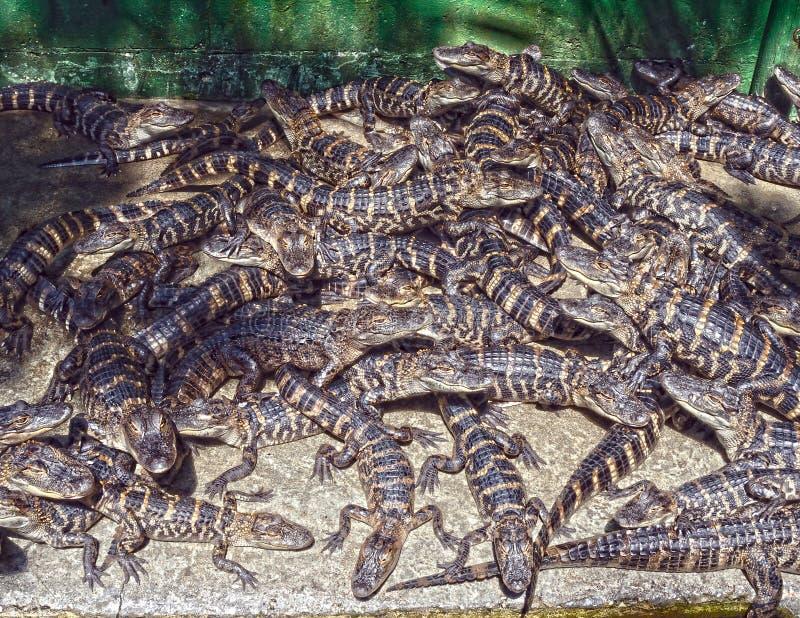 Alligatori del bambino fotografia stock libera da diritti
