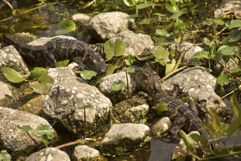 Alligatori del bambino che espongono al sole sul rocksat Orlando Wetlands Park fotografia stock